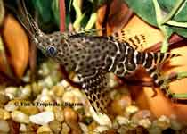 Upside Down Catfish, Synodontis Nigriventris