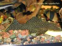 Lot Spot Pleco L067, Pseudancistrus sp