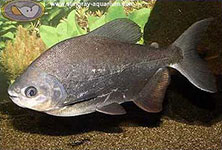Black Pacu Colossoma macropomum