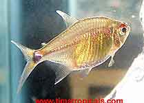 Head and Tail Light Tetra Hemigrammus ocellifer