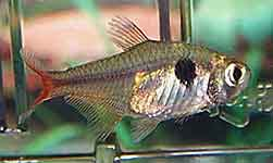 Red Base Tetra Hemigrammus stictus