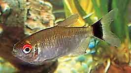 Red Eye Tetra Moenkhausia sanctaefilomenae