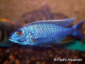 Blue Ahli | Tim's Tropical Fish Electric Blue Peacock Cichlid