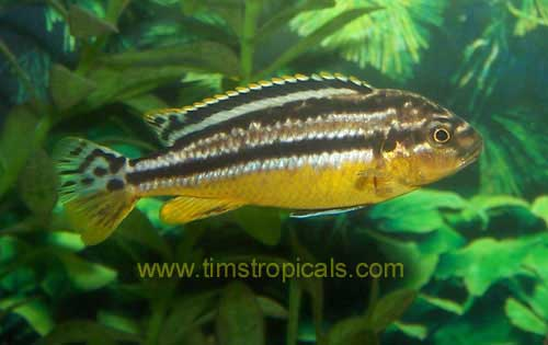 Melanochromis Auratus Golden Mbuna Cichlid - Tims Tropical Fish and ...