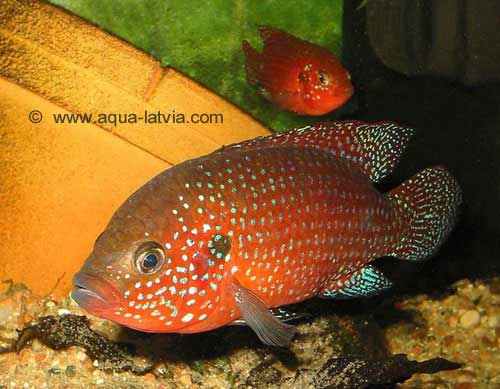 ... fish home galleries care info saltwater jewel cichlid malawi cichlids