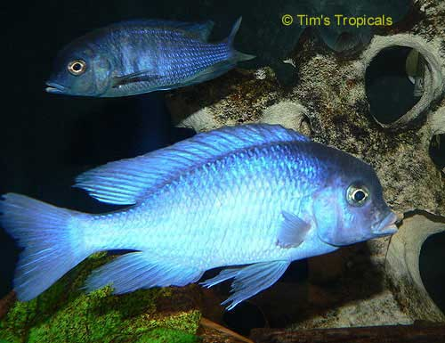 Malawi Blue Dolphin - Cyrtocara moorii - Tims Tropical Fish and ...