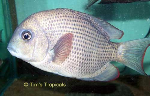 Menarambo Cichlid Pin Stripe Damba Tim 39 S Tropical Fish