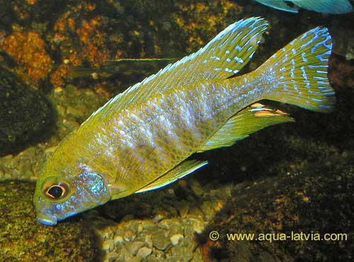 yellow cichlid fish - photo #46