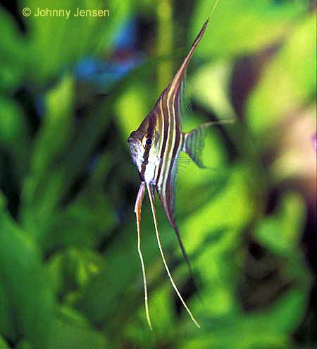 Altum Angel  Aquarium Hobbyist Resource and Social