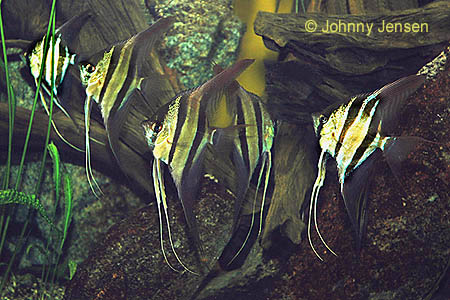 Altum angelfish for Peru altum skalar