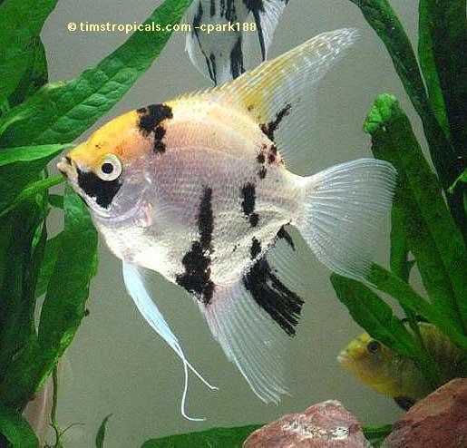 Angelfish common tim 39 s tropical fish for Koi fish life span