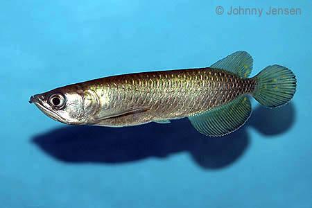 Minnesota Fish Keepers Forum • View topic - Jardini / Arowana