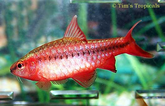 Oscars 10g page 4 for Cherry barb fish