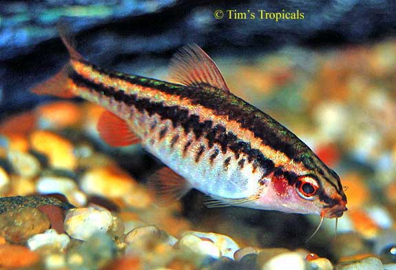 Cherry barb beginners breeding tank mates tim 39 s for Cherry barb fish