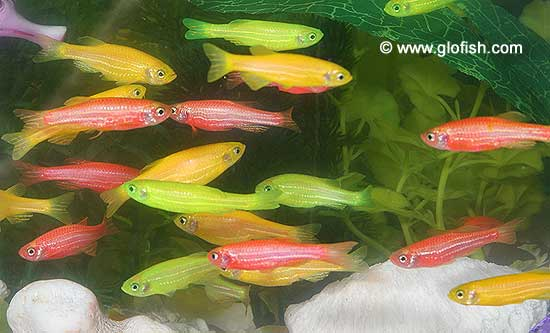 GloFish are Zebra Danios that have been genetically altered by