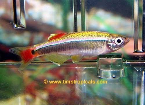 Types Of Carp Aquarium Fish Cyprinids Danios Rasbora Killies White Clouds Tim S Tropical Fish,How To Cook Chicken Breast