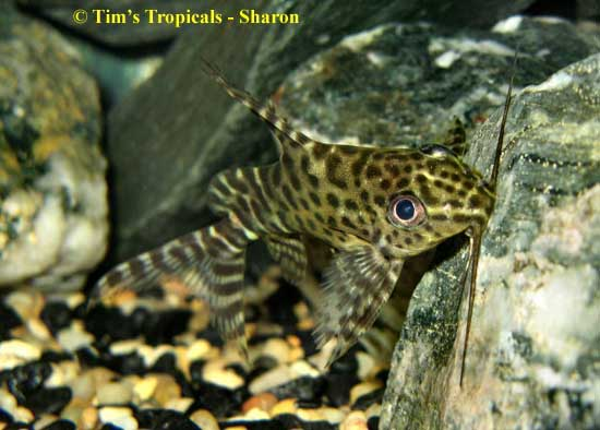 Upside down catfish synodontis nigriventris tim 39 s for Fish tank catfish