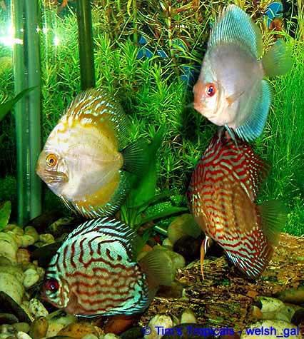 Discus Fish Freshwater Tropical Aquarium Fish