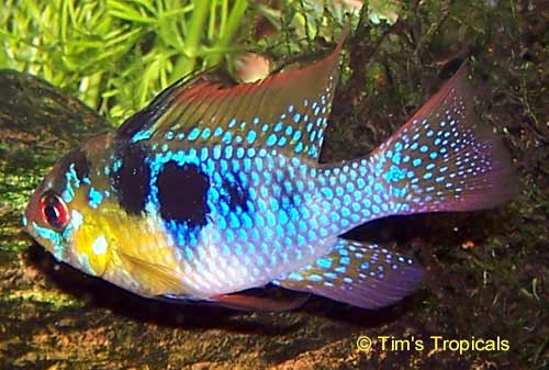 German Blue Ram Cichlid Tim S Tropical Fish