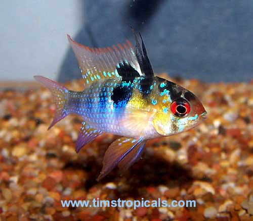 German Blue Ram Cichlid Tim S Tropical Fish