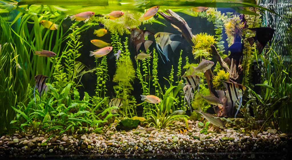 Algae Growth in Tropical Fish Tank