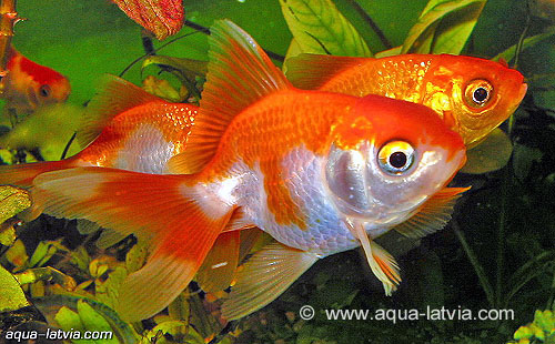 goldfish. Goldfish originally came from