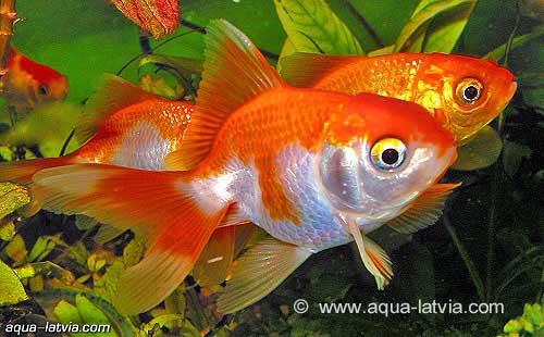 Goldfish Aquarium Fish Black Moor Fantails Shubunkins