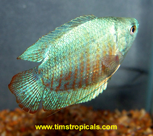 Gourami image 300 for Freshwater fish facts