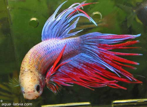 Betta splendens siamese fighting fish tim 39 s tropical fish for Can you put betta fish with other fish