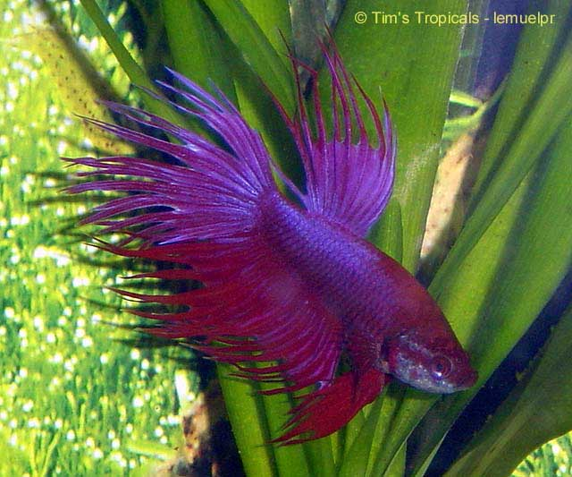 Betta splendens siamese fighting fish tim 39 s tropical fish for Crowntail betta fish