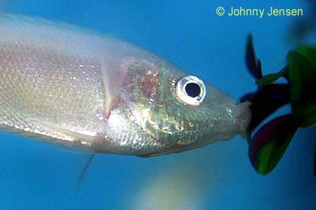 Kissing gourami helostoma temminckii anabantid tim 39 s for Kissing gourami fish