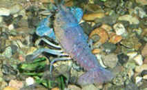 Florida Blue Crayfish, freshwater aquarium invertebrates
