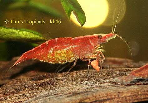 Cherry Shrimp, Neocaridina denticulata, freshwater aquarium invertebrates