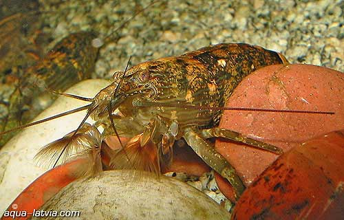 Fan Shrimp, freshwater aquarium invertebrates