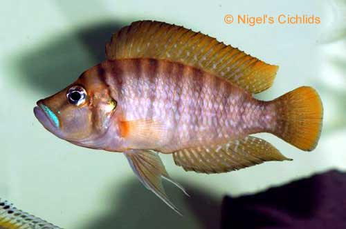 Altolamprologus compressiceps tim 39 s tropical fish for Lake tanganyika fish