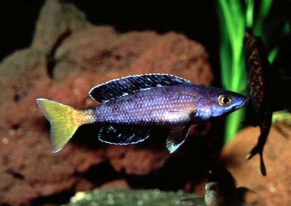 Cyprichromis leptosoma kitumba tim 39 s tropical fish for Lake tanganyika fish
