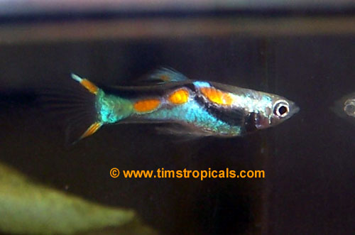 Endler 39 s livebearer poecilia endlers livebearer Livebearer aquarium fish