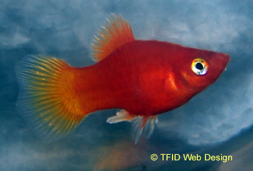 Red Male Platy
