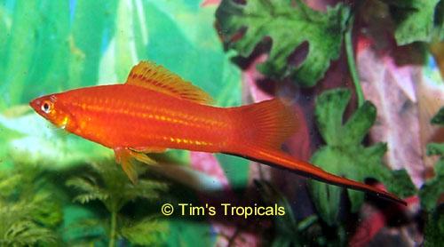 ماهی سوارتل(نر)
