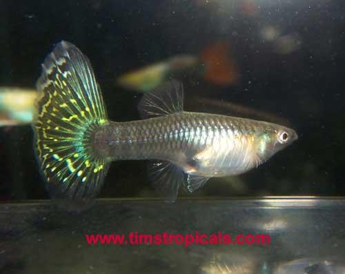 Guppy or guppies poecilia reticulata aquarium tropical for Mosquito fish facts
