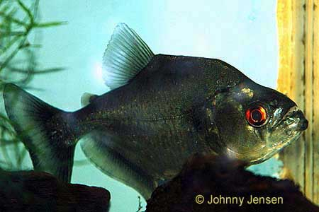 Piranhas, red belly piranha | Tim's Tropical Fish