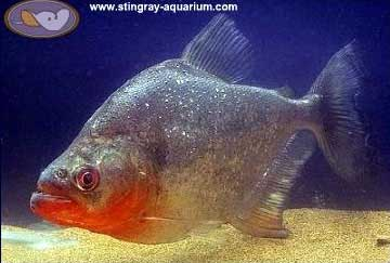 Piranhas, red belly piranha | Tim's Tropical Fish