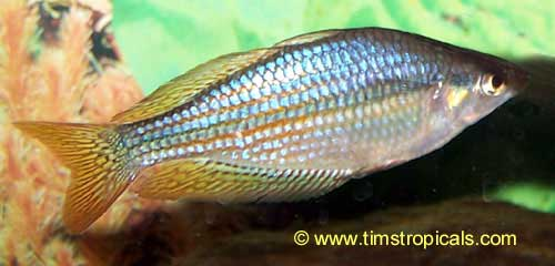 Australian rainbowfish melanotaenia fluviatilis tim 39 s for Rainbow fish care