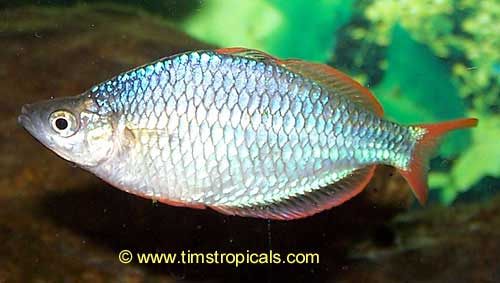 Dwarf neon rainbowfish melanotaenia praecox tim 39 s for Dwarf rainbow fish