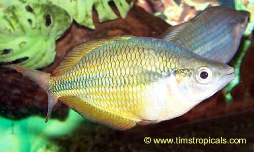 Herbert axelrod rainbowfish melanotaenia herbertaxelrodi for Rainbow fish care