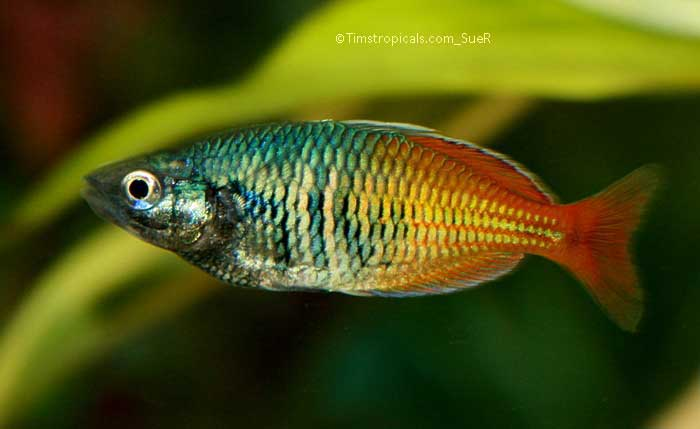 Boseman 39 s rainbowfish melanotaenia boesemani tim 39 s for Tropical rainbow fish