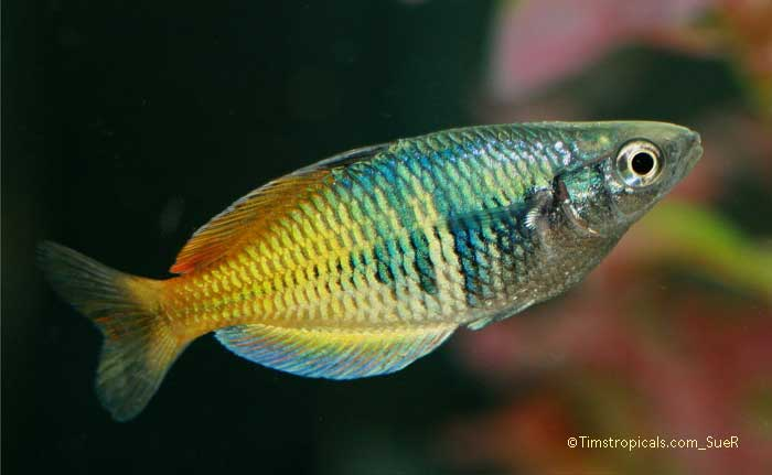 how to care for boesemani rainbow fish