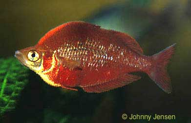 Red rainbowfish glossolepis incisus tim 39 s tropical fish for Rainbow fish care