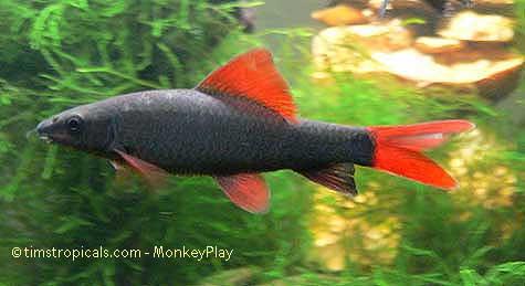 Rainbow shark epalzeorhynchos frenatum tim 39 s tropical fish for Rainbow shark fish