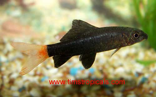 Red Tailed Black Shark, Epalzeorhynchos bicolor - Tims Tropical Fish ...